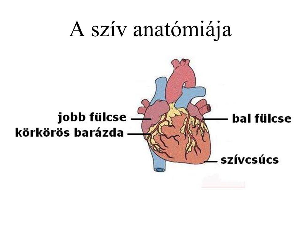 A szív anatómiája