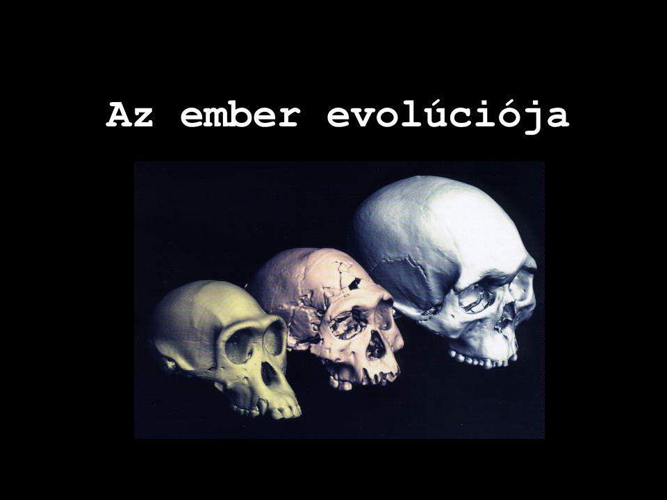 Az ember evolúciója koponyák sorrendben: csimpánz, erectus, sapiens