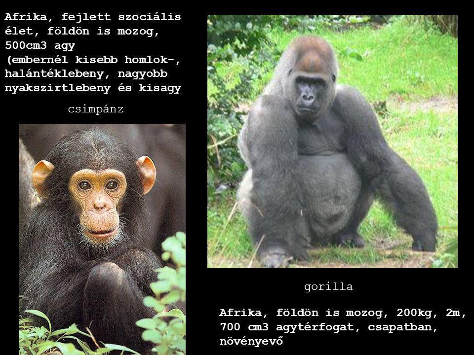 Afrika, fejlett szociális élet, földön is mozog, 500cm3 agy (embernél kisebb homlok-, halántéklebeny, nagyobb nyakszirtlebeny és kisagy