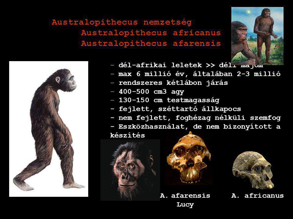 Australopithecus nemzetség Australopithecus africanus
