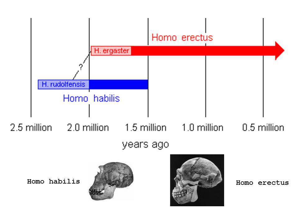 Homo habilis Homo erectus