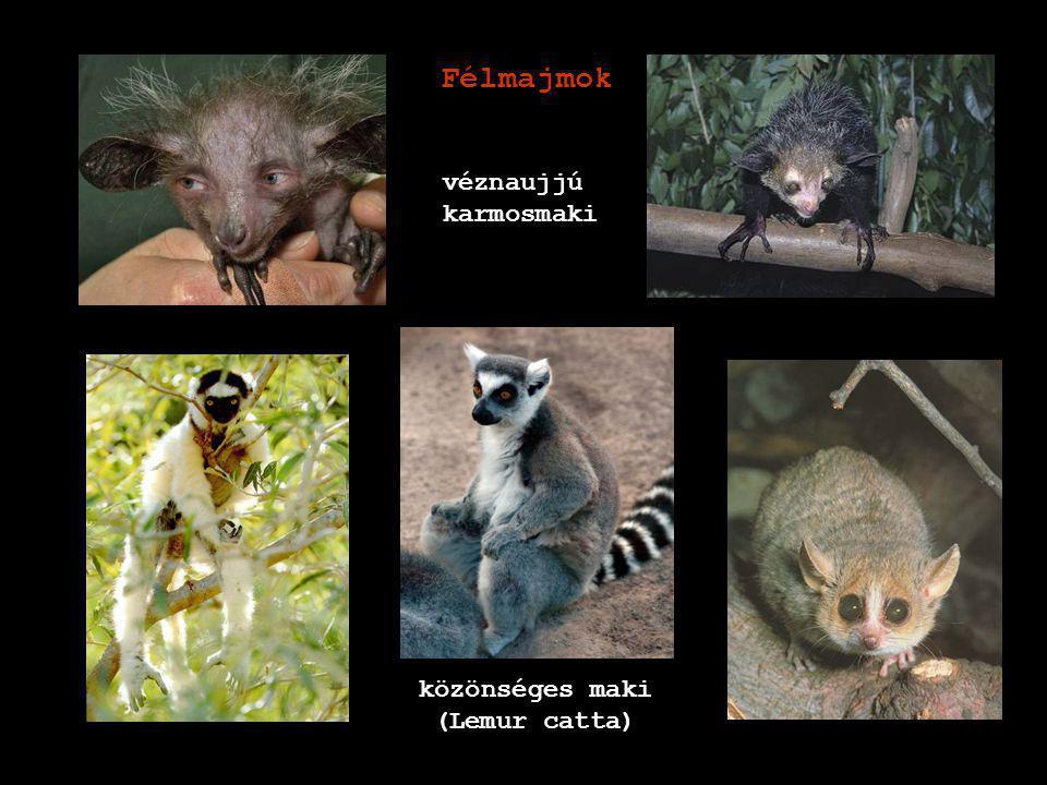 közönséges maki (Lemur catta)