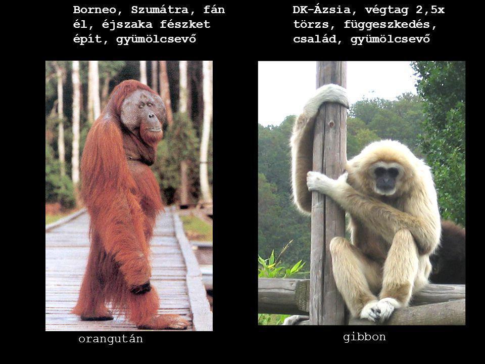 Borneo, Szumátra, fán él, éjszaka fészket épít, gyümölcsevő