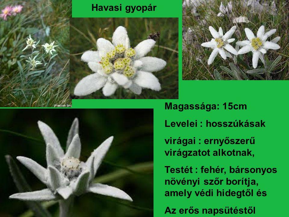 Havasi gyopár Magassága: 15cm. Levelei : hosszúkásak. virágai : ernyőszerű virágzatot alkotnak,