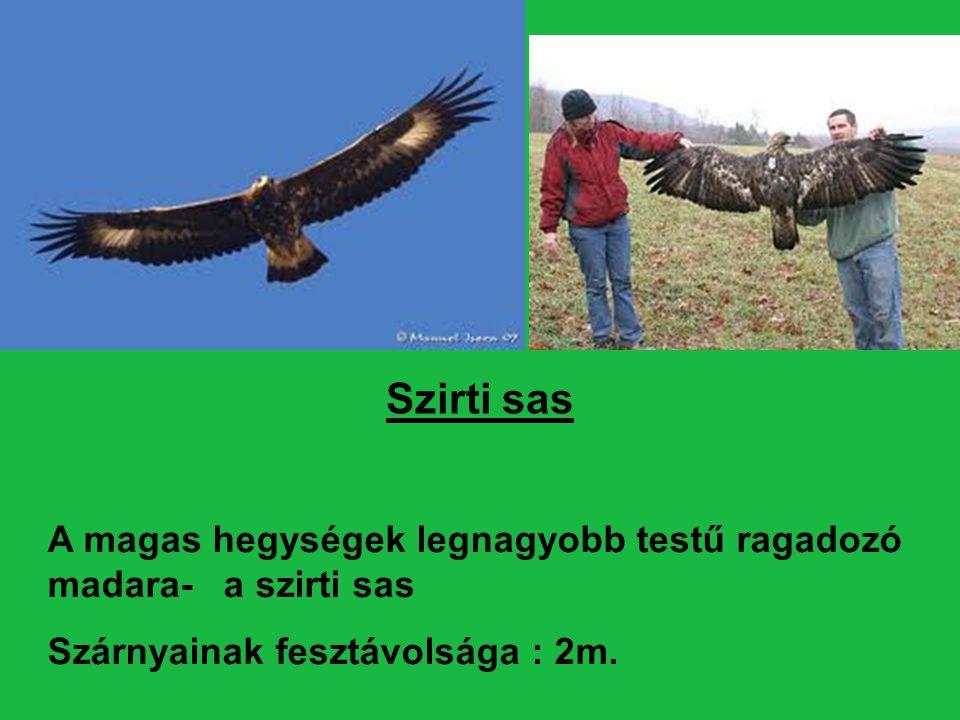 Szirti sas A magas hegységek legnagyobb testű ragadozó madara- a szirti sas.