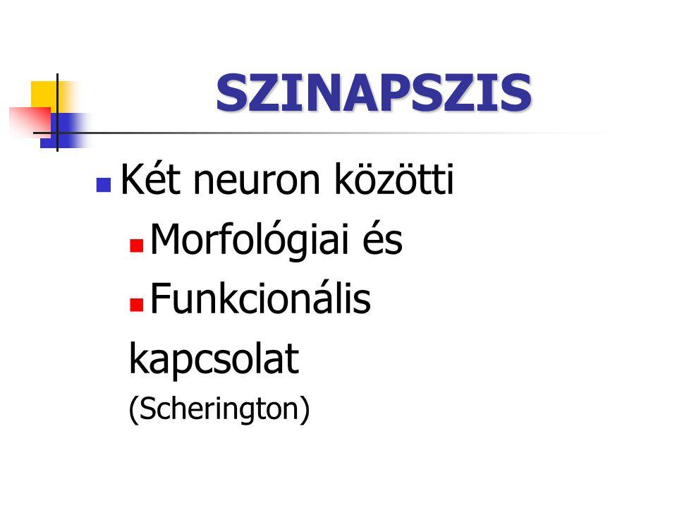 SZINAPSZIS Két neuron közötti Morfológiai és Funkcionális kapcsolat