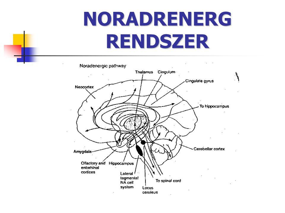 NORADRENERG RENDSZER