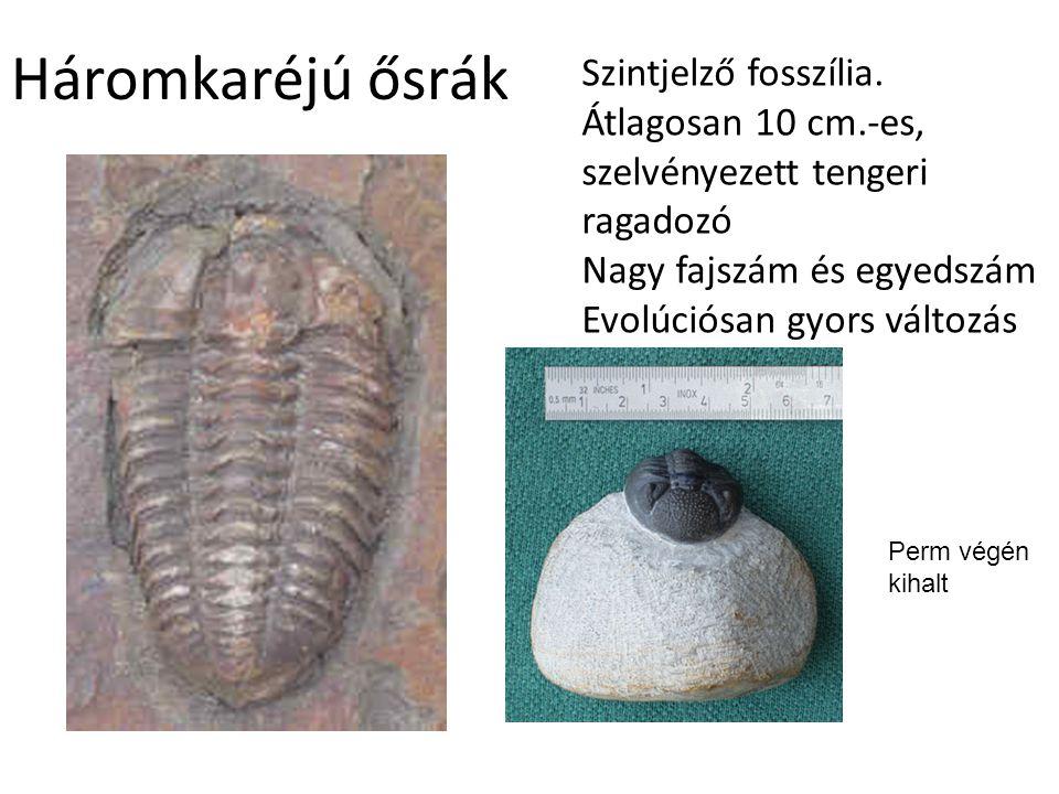 Háromkaréjú ősrák Szintjelző fosszília. Átlagosan 10 cm.-es, szelvényezett tengeri ragadozó Nagy fajszám és egyedszám.