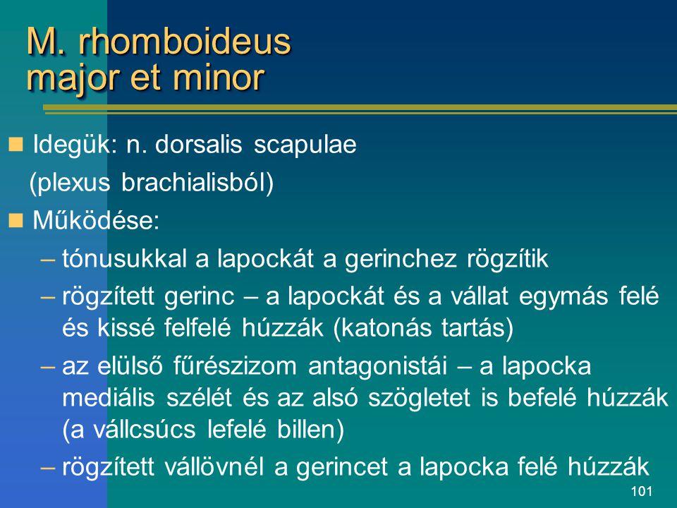 M. rhomboideus major et minor