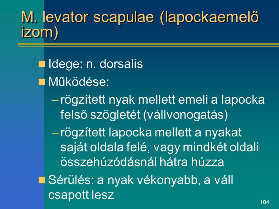 M. levator scapulae (lapockaemelő izom)