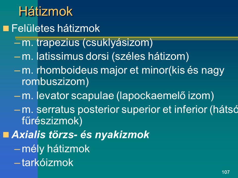 Hátizmok Felületes hátizmok m. trapezius (csuklyásizom)