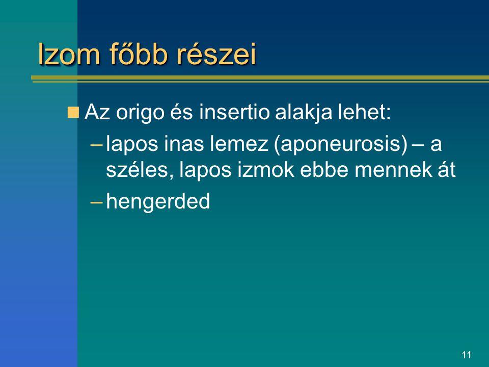 Izom főbb részei Az origo és insertio alakja lehet: