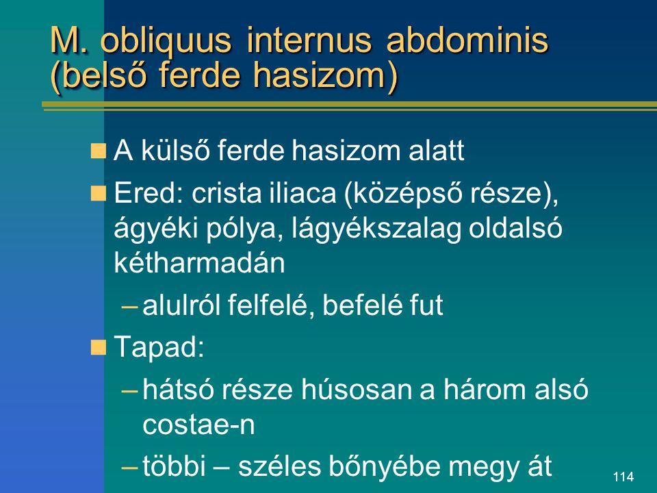 M. obliquus internus abdominis (belső ferde hasizom)