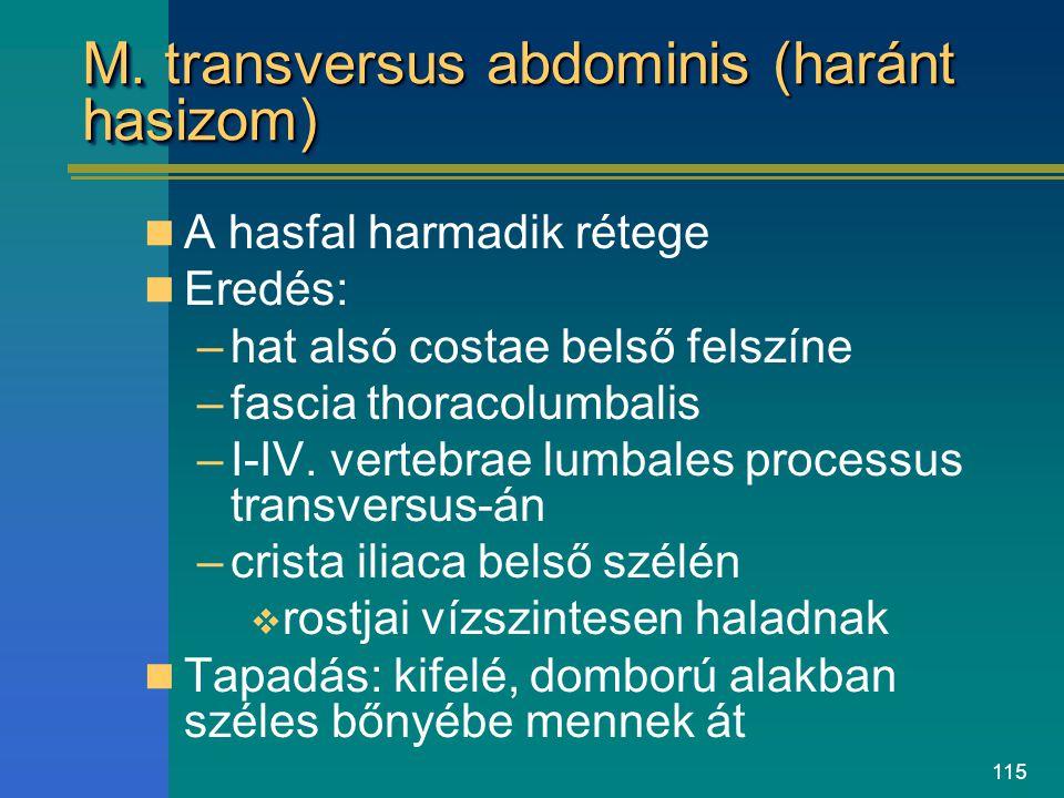 M. transversus abdominis (haránt hasizom)