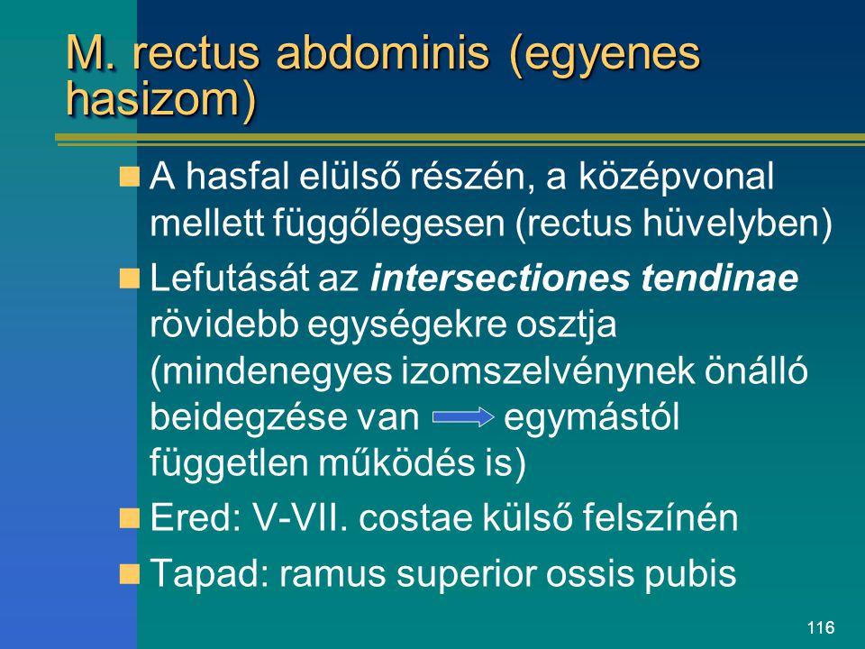 M. rectus abdominis (egyenes hasizom)