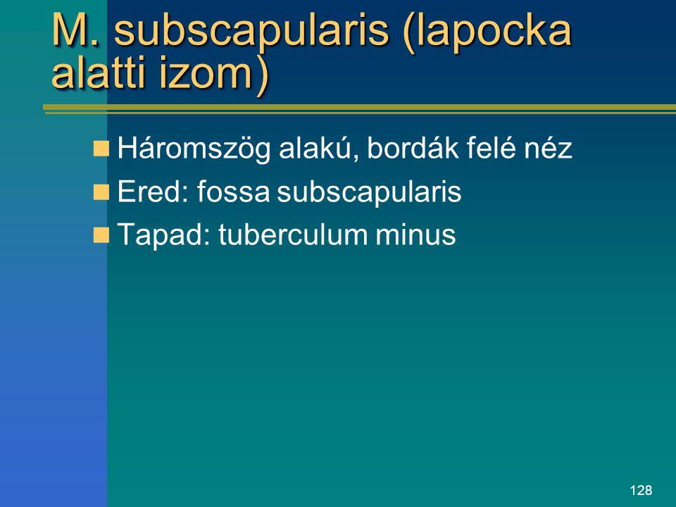 M. subscapularis (lapocka alatti izom)