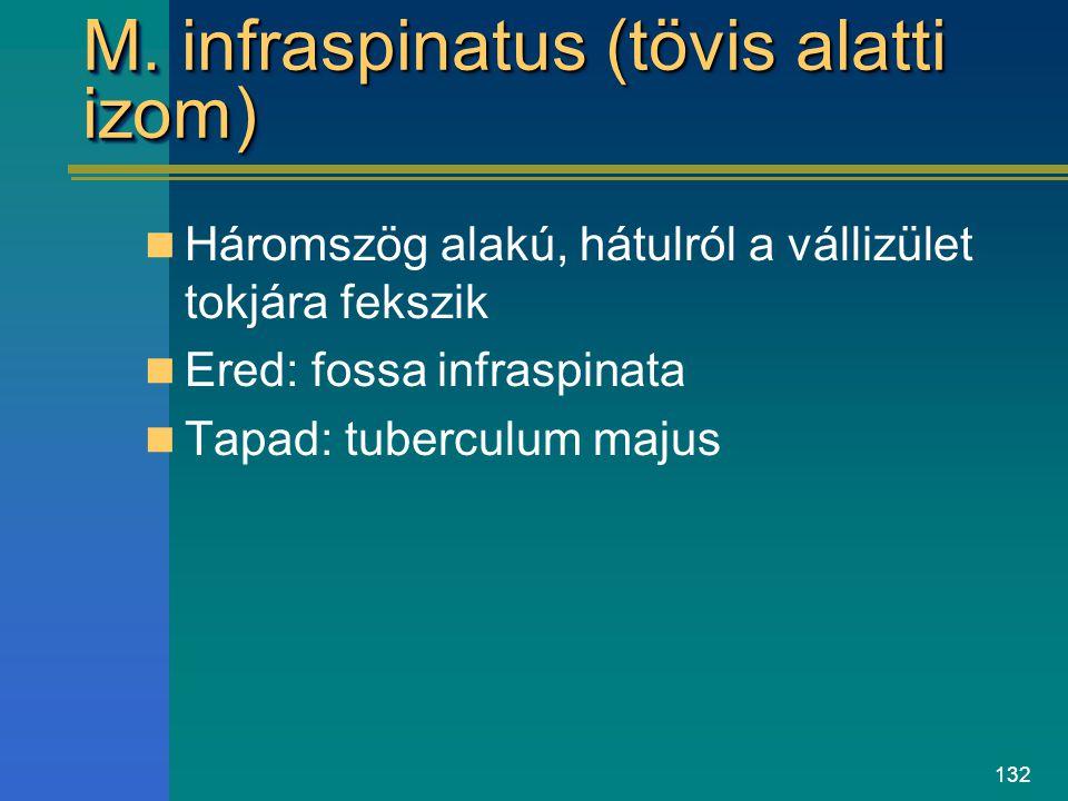 M. infraspinatus (tövis alatti izom)