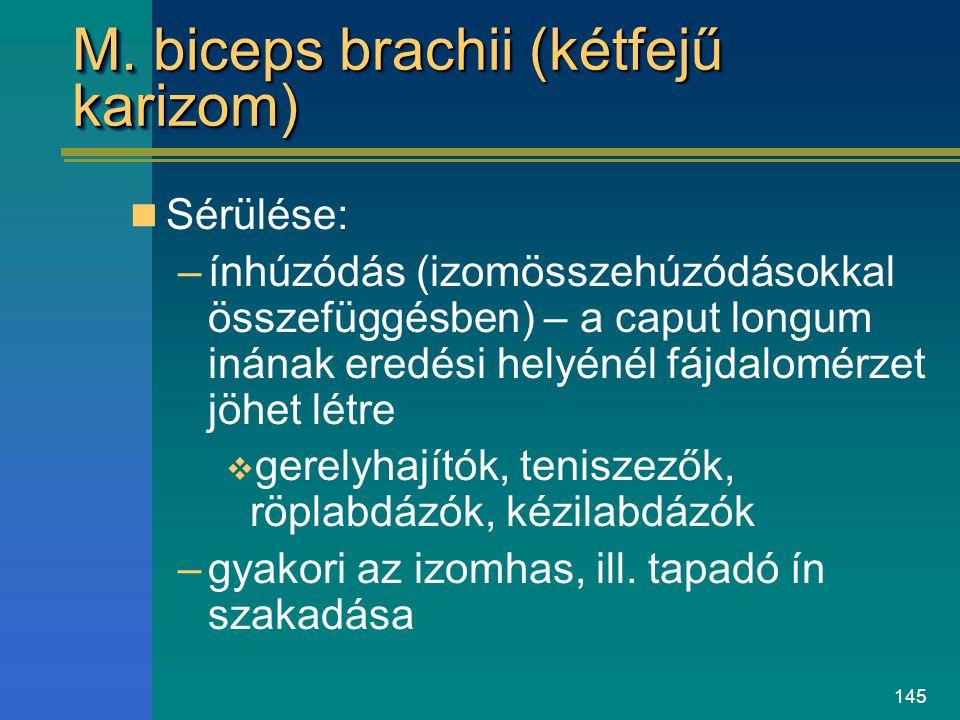 M. biceps brachii (kétfejű karizom)