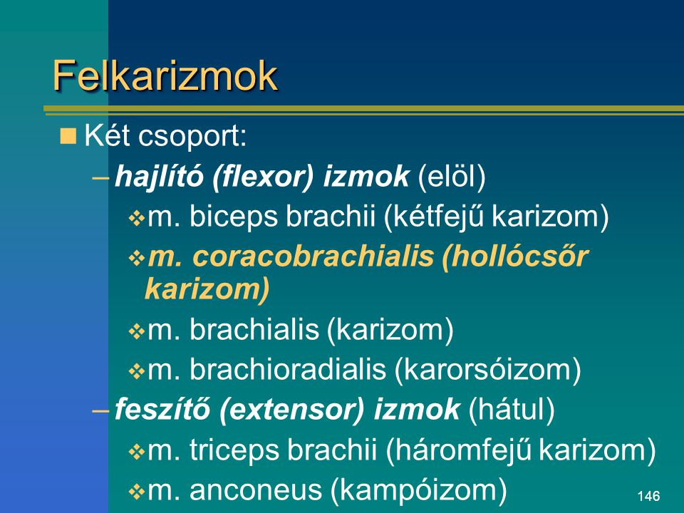 Felkarizmok Két csoport: hajlító (flexor) izmok (elöl)