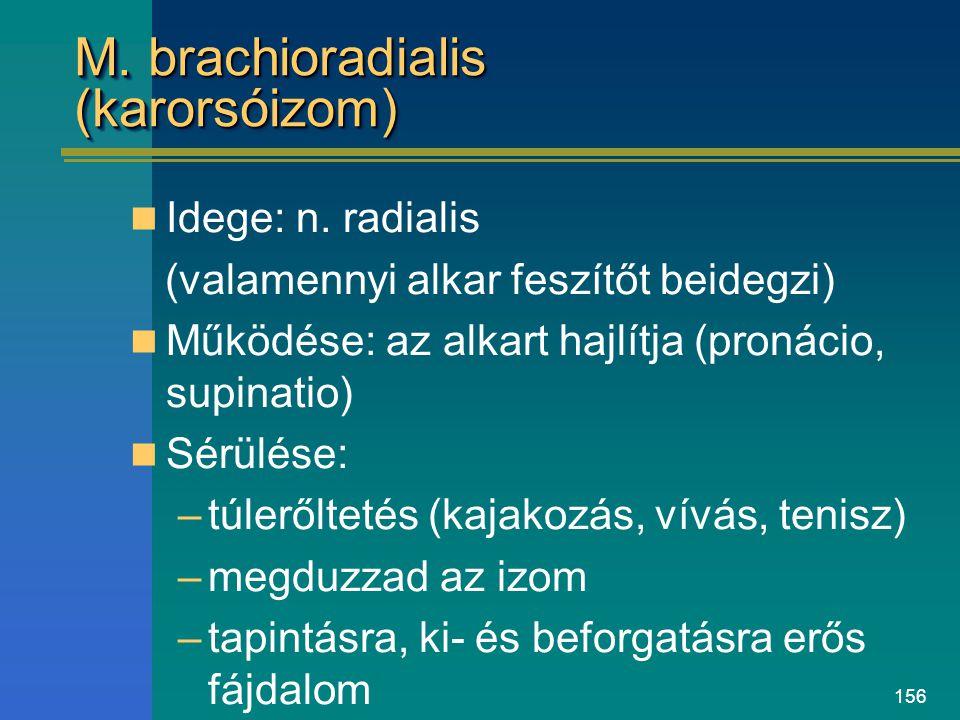 M. brachioradialis (karorsóizom)