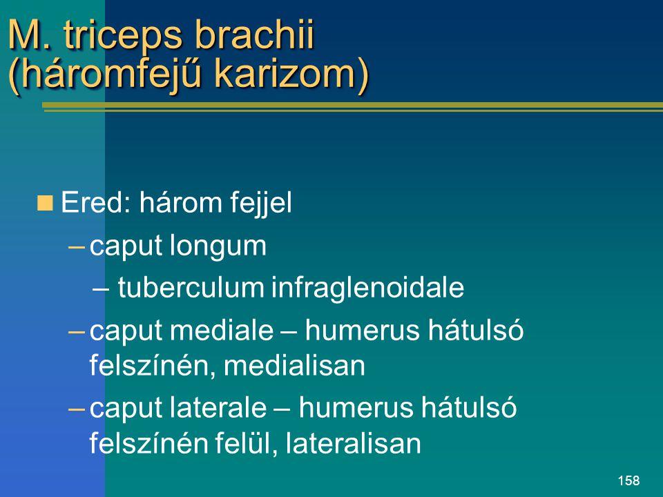 M. triceps brachii (háromfejű karizom)