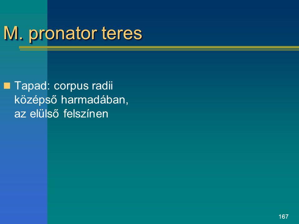 M. pronator teres Tapad: corpus radii középső harmadában, az elülső felszínen