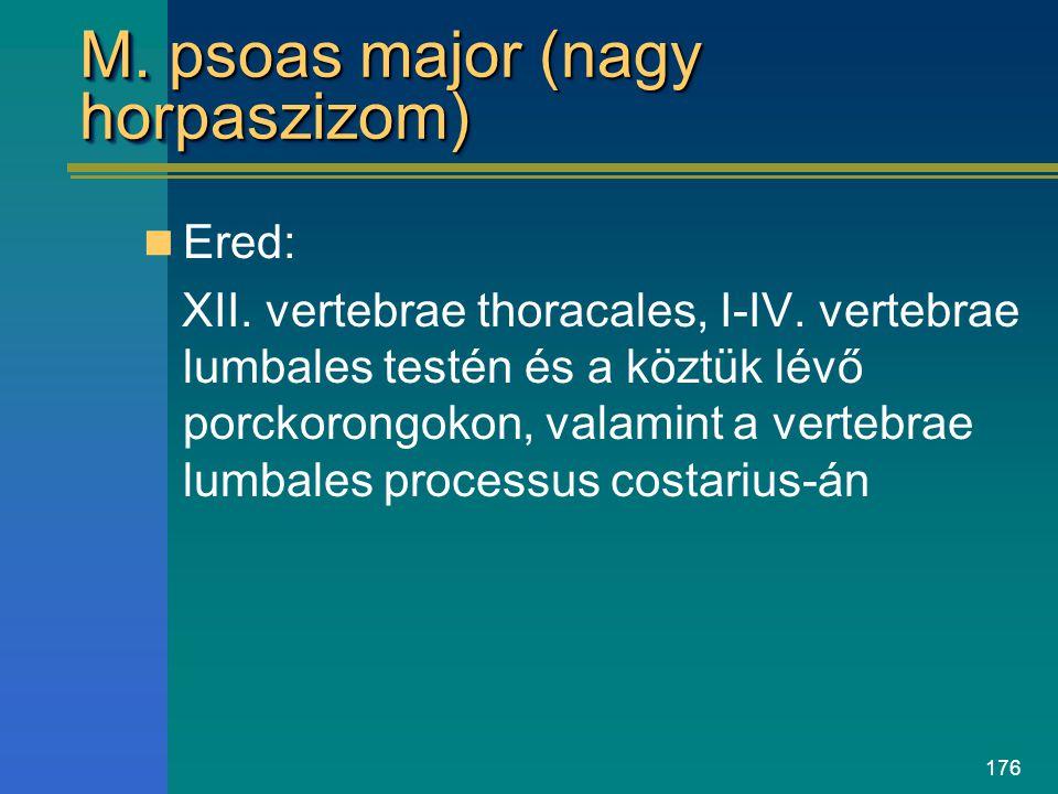 M. psoas major (nagy horpaszizom)