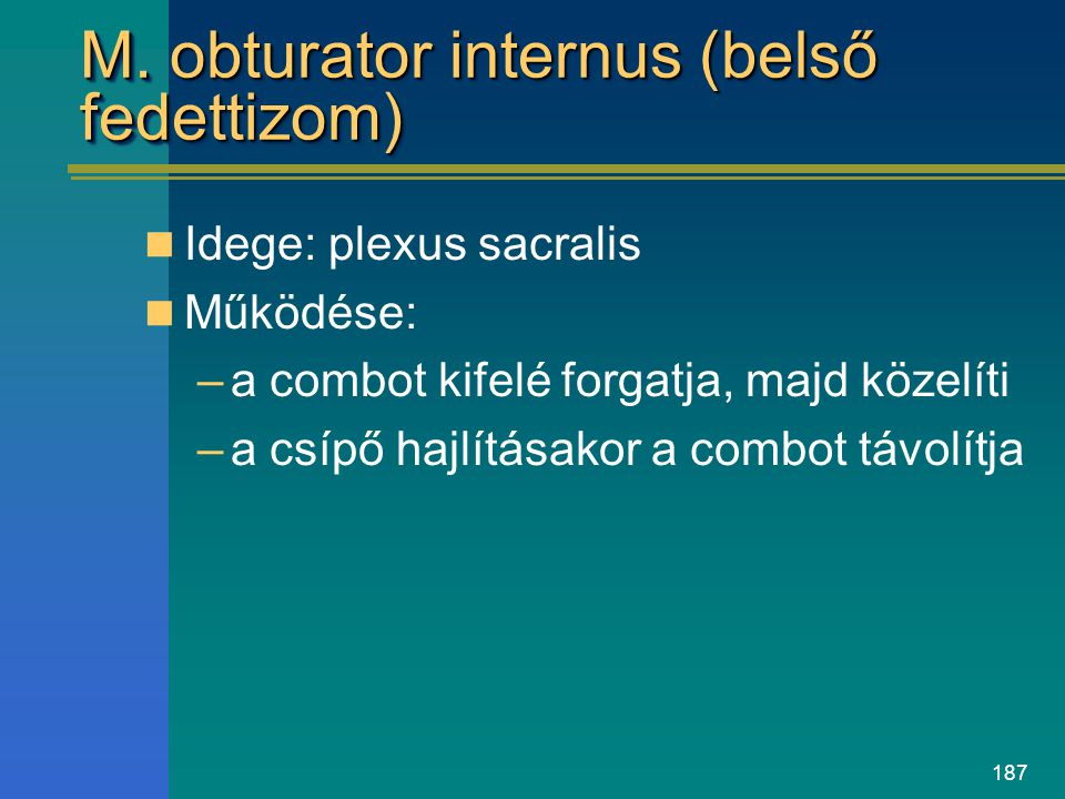 M. obturator internus (belső fedettizom)