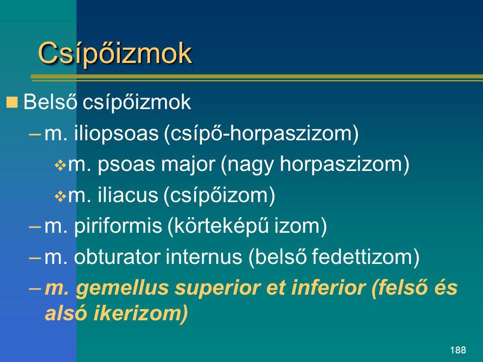 Csípőizmok Belső csípőizmok m. iliopsoas (csípő-horpaszizom)