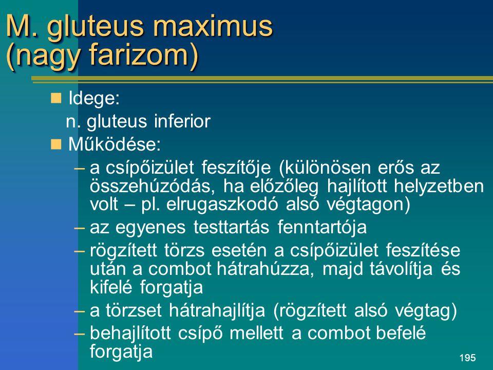 M. gluteus maximus (nagy farizom)