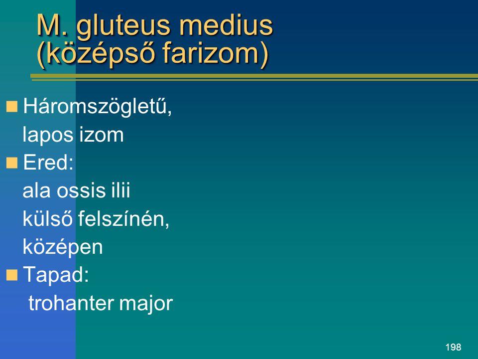 M. gluteus medius (középső farizom)