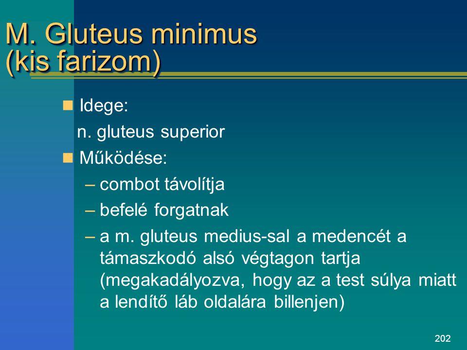 M. Gluteus minimus (kis farizom)
