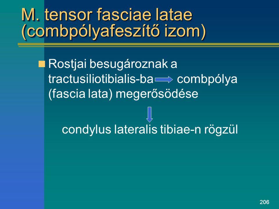 M. tensor fasciae latae (combpólyafeszítő izom)