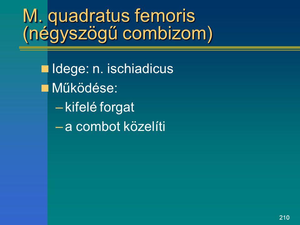 M. quadratus femoris (négyszögű combizom)