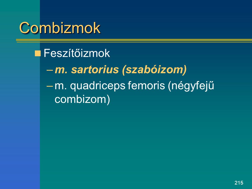 Combizmok Feszítőizmok m. sartorius (szabóizom)