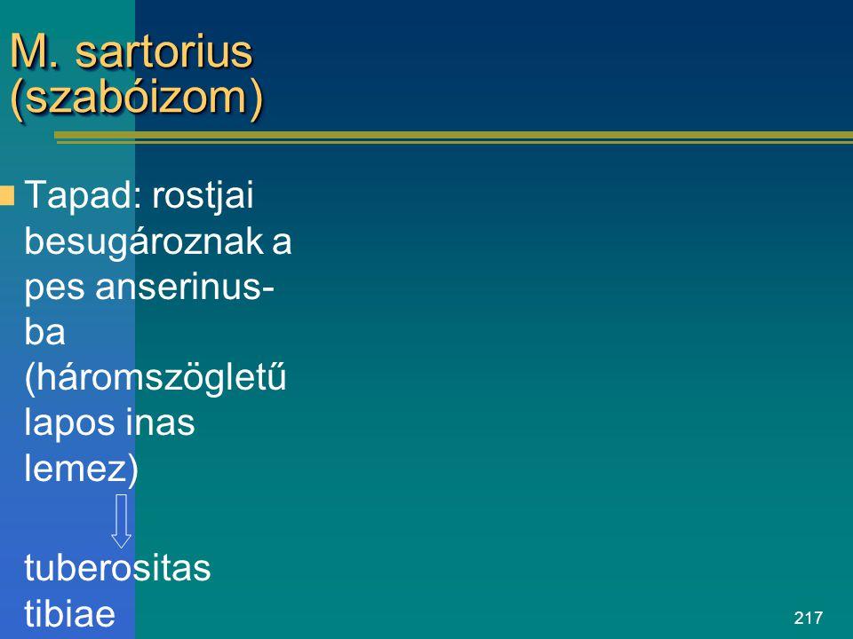 M. sartorius (szabóizom)
