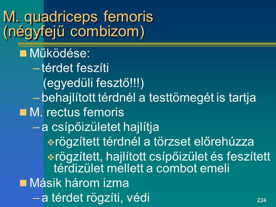 M. quadriceps femoris (négyfejű combizom)