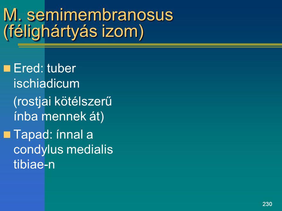 M. semimembranosus (félighártyás izom)