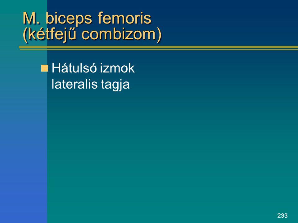 M. biceps femoris (kétfejű combizom)