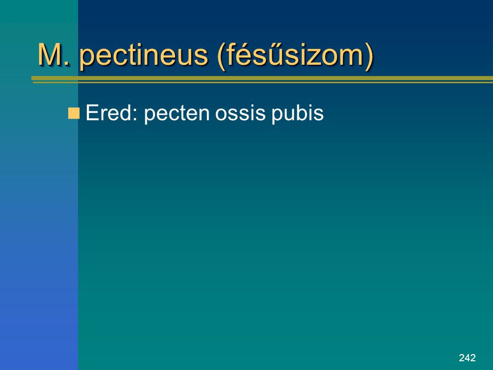 M. pectineus (fésűsizom)