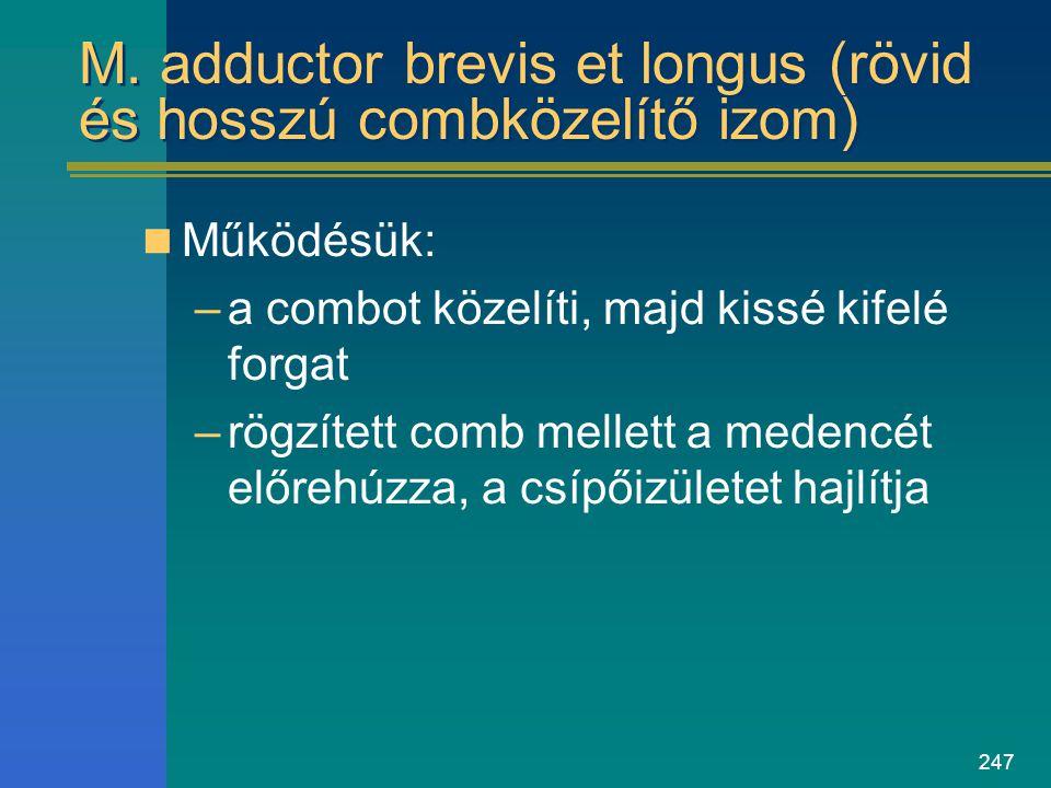 M. adductor brevis et longus (rövid és hosszú combközelítő izom)