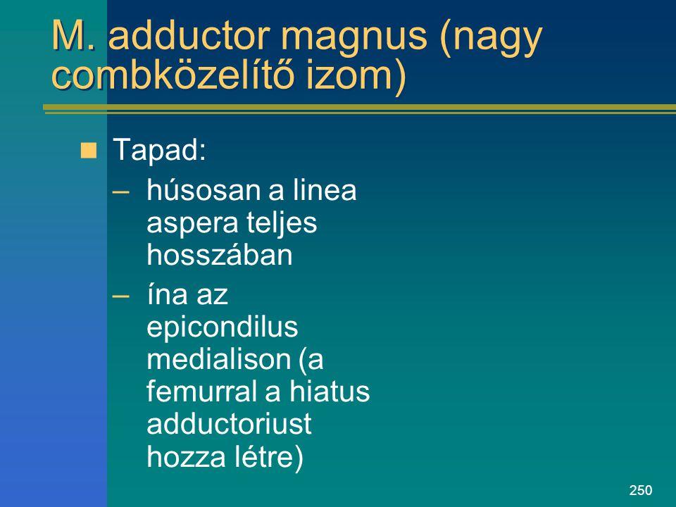 M. adductor magnus (nagy combközelítő izom)