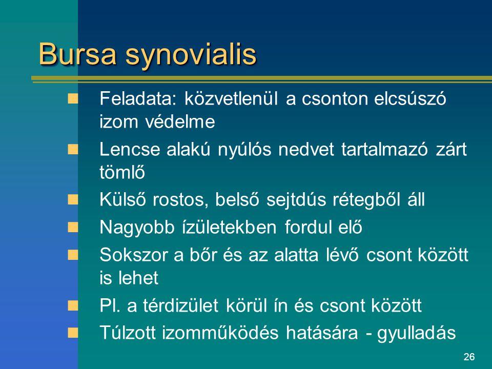 Bursa synovialis Feladata: közvetlenül a csonton elcsúszó izom védelme