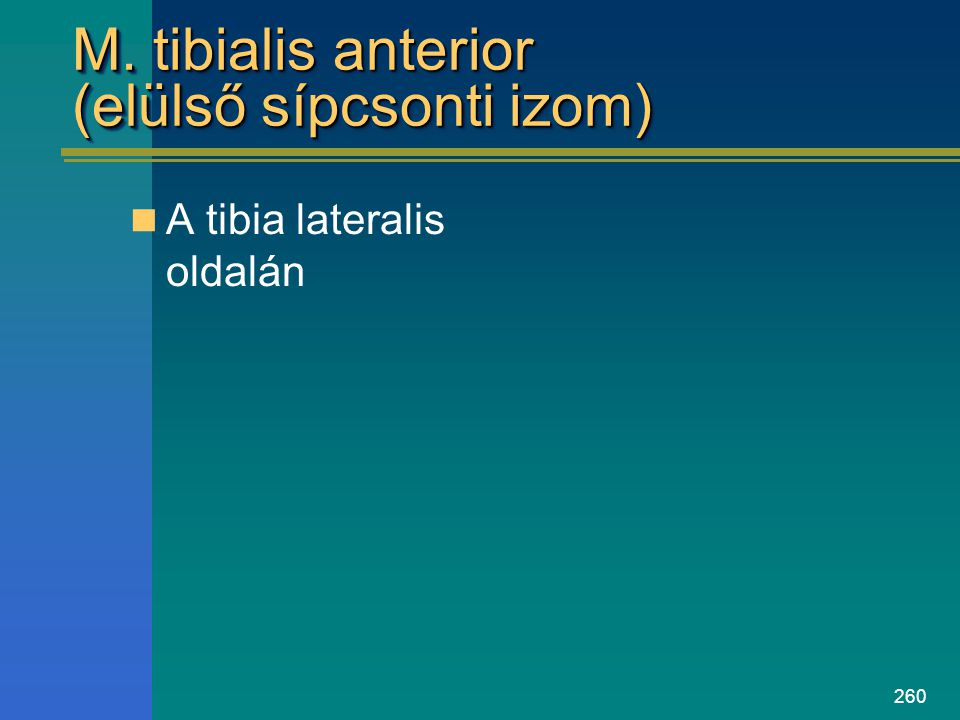 M. tibialis anterior (elülső sípcsonti izom)