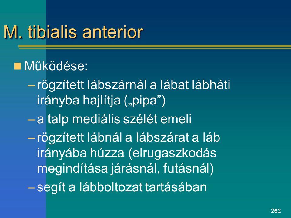 M. tibialis anterior Működése: