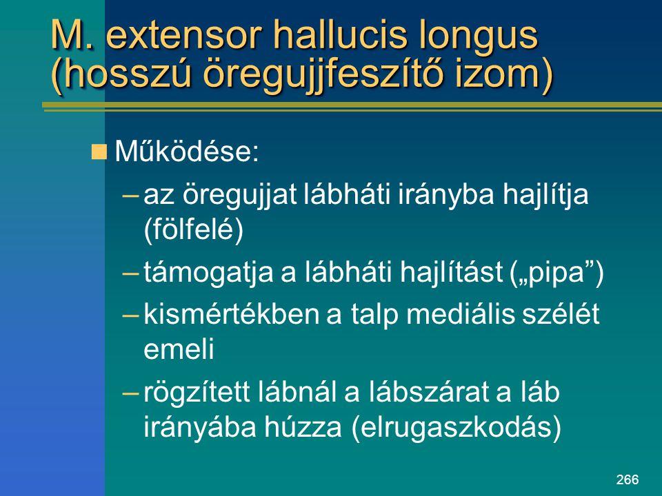 M. extensor hallucis longus (hosszú öregujjfeszítő izom)