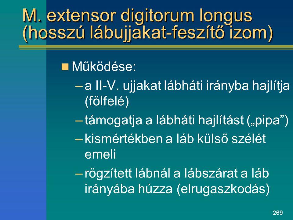 M. extensor digitorum longus (hosszú lábujjakat-feszítő izom)