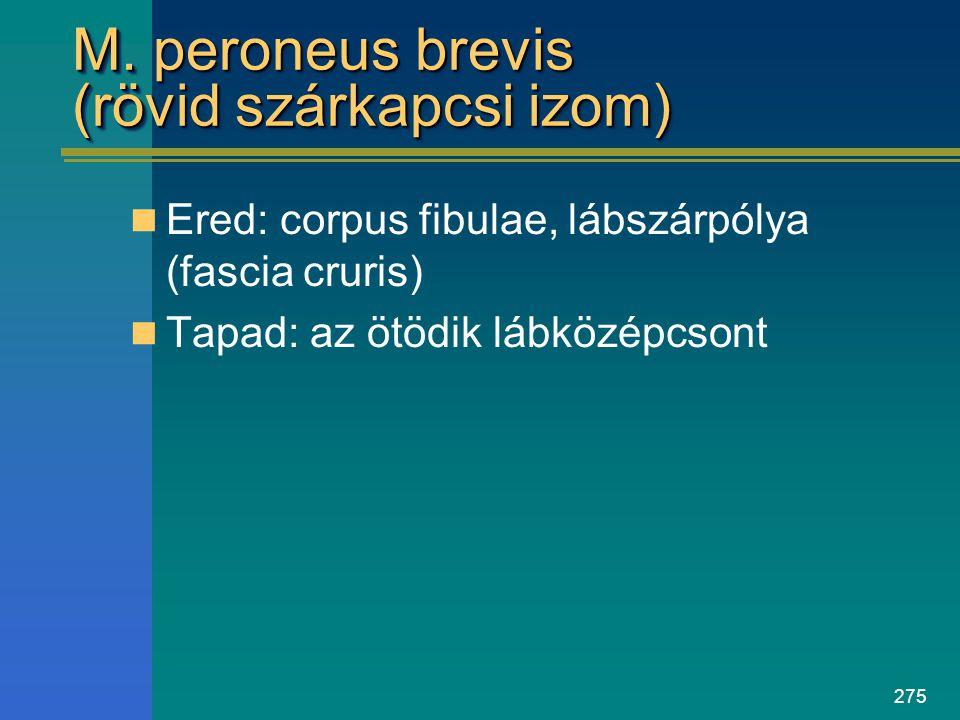 M. peroneus brevis (rövid szárkapcsi izom)