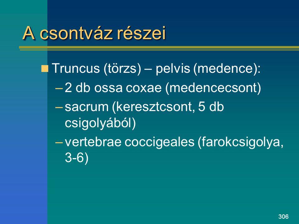 A csontváz részei Truncus (törzs) – pelvis (medence):