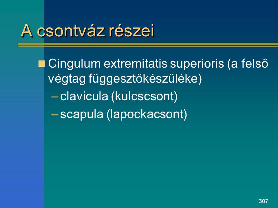 A csontváz részei Cingulum extremitatis superioris (a felső végtag függesztőkészüléke) clavicula (kulcscsont)